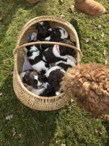 De Bonte Labradoodle Pups